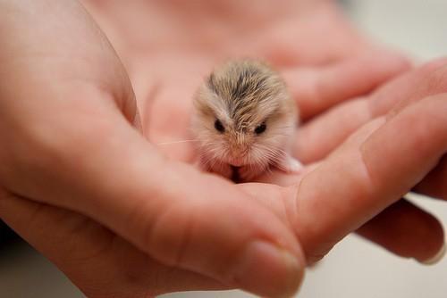 dwarf type hamster.