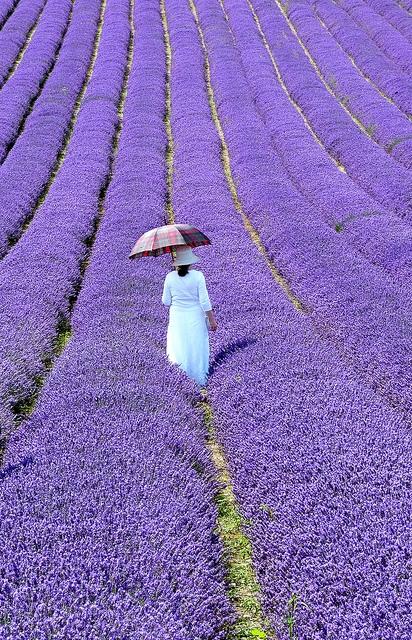 Lavender Heaven?