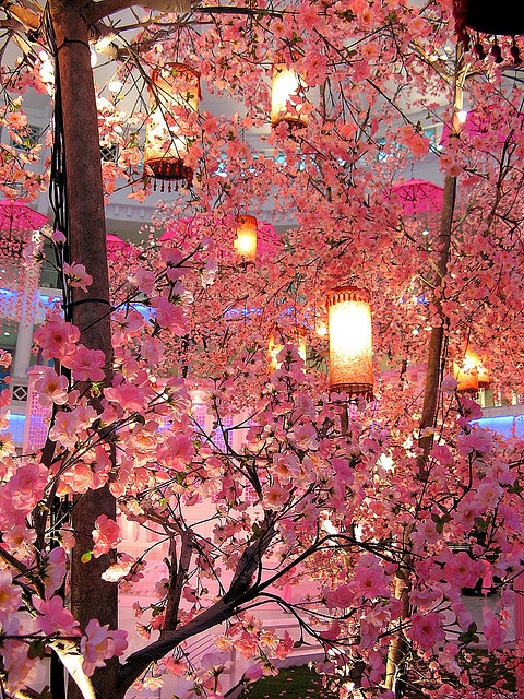 cherry blossoms & lanterns