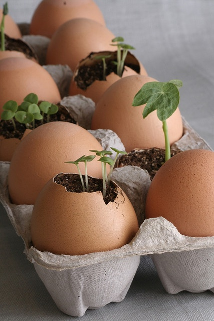 Spring Start seedlings in an egg shell so cute!